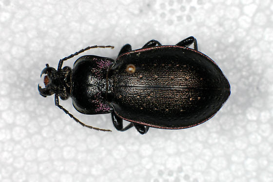Ground Beetle (Carabid) - Carabus nemoralis