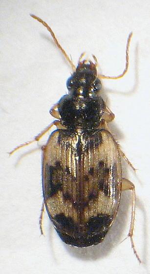 Tetragonoderus fasciatus