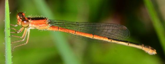 Small Damselfly - Ischnura hastata - female