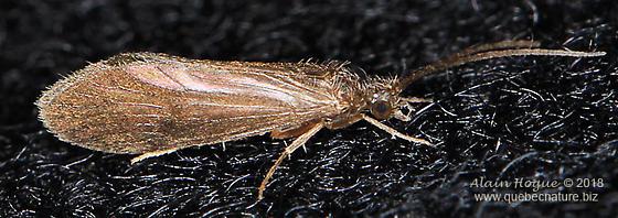 Agapetus sp. ( near iridis ) - Agapetus - male