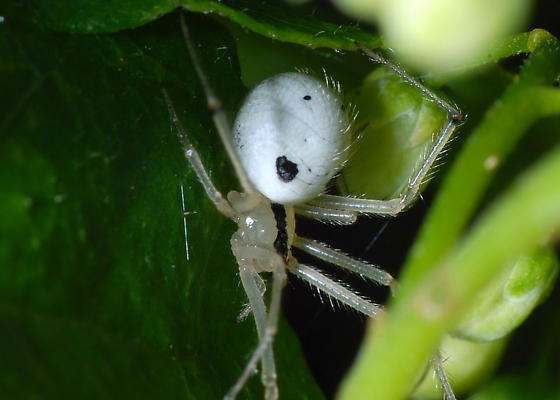 White Spider with Two Black Spots