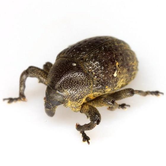 Rhyssomatus - Chalcodermus semicostatus