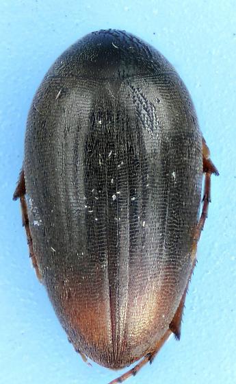 Eucinetus terminalis
