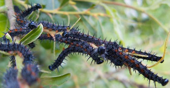 Caterpillars - Nymphalis antiopa