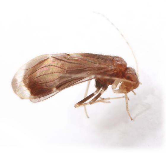 barklice - Polypsocus corruptus