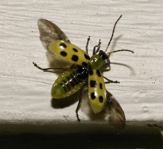 Spotted Cucumber Beetle spread wings - Diabrotica undecimpunctata