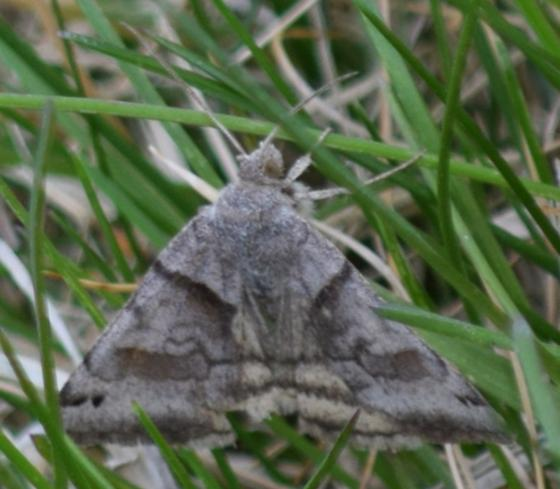 Caenurgina crassiuscula - Clover Looper - Hodges#8738 or #8739 erechtea - Caenurgina crassiuscula