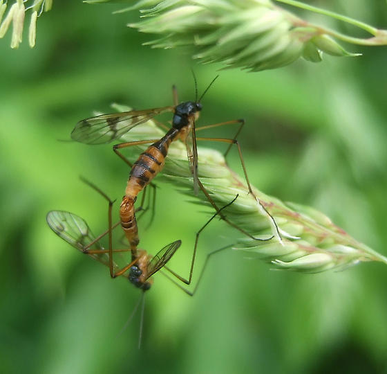 mating craneflies - Ptychoptera - male - female