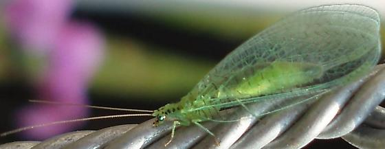 Lacewing - Chrysopa chi