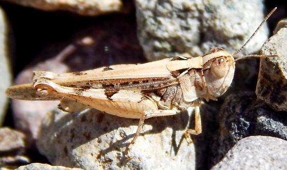Acrididae - Psoloessa