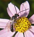 male solitary bee  family Halictidae. - Lasioglossum - male
