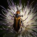 Soldier Beetle (family Cantharidae-I think) on Feld Thistle, Cirsium discolor, Savannah, Ga - Nemognatha piazata - male