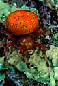 Marbled Orbweaver, Araneus marmoreus ? - Araneus marmoreus