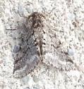 Noctuid Moth - Panthea? - Lycia ursaria