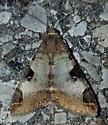 Melipotis sp.? - Melipotis perpendicularis