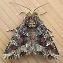 Noctuidae: Apamea amputatrix - Apamea amputatrix