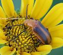 Beetle - Zonitis vittigera