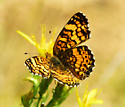 Crescent, likely Millita Crescent - Phyciodes
