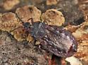 flat bug - Aneurus inconstans - male