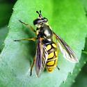 Wasp mimic - Somula decora - female