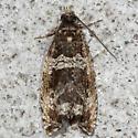 Dusky Leafroller - Hodges#2770 - Celypha cespitana