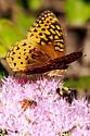 ID of Butterfly Please - Speyeria cybele - female