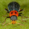 Unknown Beetle - Collops bipunctatus