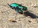 Six spotted Green Tiger Beetle - Cicindela sexguttata