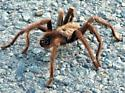 large spider - Aphonopelma