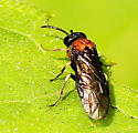 Small Sawfly - Eutomostethus ephippium