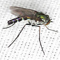 Long-legged Fly - Plagioneurus univittatus