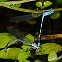 Sierra Madre Dancers - Argia lacrimans - male - female