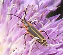 bug - Chauliognathus marginatus