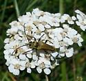 Lepturobosca chrysocoma - one fine looking longhorn beetle - Lepturobosca chrysocoma
