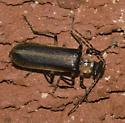 beetle - Podabrus basillaris