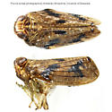 Pinned Specimen - Thionia bullata