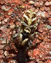 Spider - Salticus scenicus