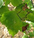 Dark mine on red maple - Trifurcula saccharella