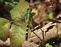 Green dragonfly - Erythemis simplicicollis