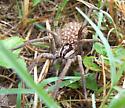 Wolf spider with babies - Rabidosa - female