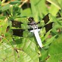 Plathemis lydia - Common Whitetail ? - Plathemis lydia - male