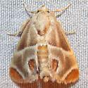 4669 Shagreened Slug Moth - Apoda biguttata