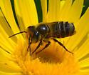Megachile sp.? leafcutter bee - Megachile