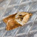 Robinson's Acleris Moth - Acleris robinsoniana