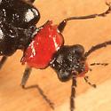 soldier beetle  - Silis percomis
