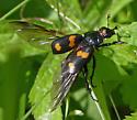 Sexton beetle - Nicrophorus sp. with Poecilochirus mites - Nicrophorus