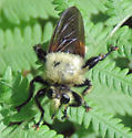 Robber fly - Laphria apila? - Laphria grossa