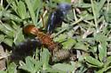 Paper wasp pulping larva - Polistes - female