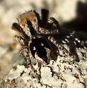 Need ID please - Habronattus tranquillus - male