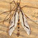 Crane fly - Pedicia contermina - male